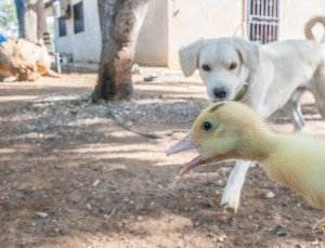 Dog_and_duck